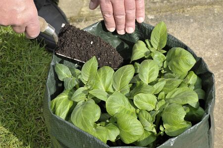 Gardener topping up Potatoes with compost growing in a space saving patio bag or vegetable growing bag. Variety Charlotte a waxy salad potato which thrives in containers.