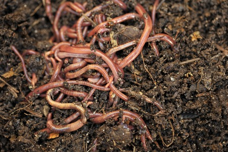 vermiculture: Garden compost and worms recycling plant and kitchen food waste into a rich soil improver and fertilizer.