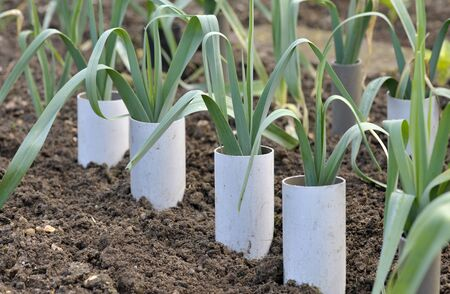 Leeks, allium ampeloprasum growing in plastic pipes to blanch and extend the stems in a vegetable garden, variety Musselburgh.
