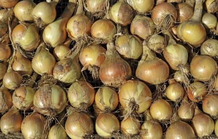 allium cepa: Onions, allium cepa variety Sturon, drying in sunshine before storing.