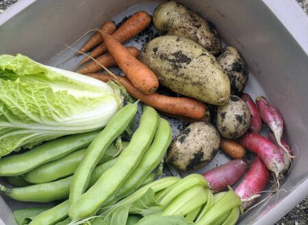 Selection of freshly picked garden vegetables, chinese cabbage, carrots, broad or fava beans, new potatoes, radish and pak chee. Stock Photo