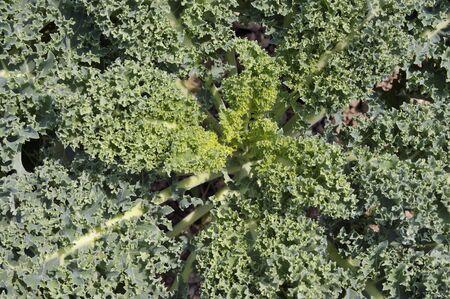 ケール キャベツ縮れたキャベツ、緩い葉フォーム ロゼット植物が育つと、スーパー フードと呼ばれます。 写真素材