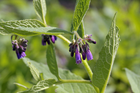 Comfrey plants flowering in a garden, genus symphytum Bocking 14 cultivar of Russian Comfrey flowers also spelt comphrey, a herb which is prized by organic gardeners as it attracts beneficial insects and can be used in compost, as a mulch and to make natu