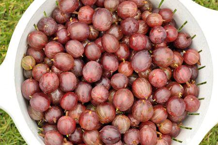 Red gooseberries freshly picked, culinary European Gooseberry fruits, scientific name Ribes Uva-crispa.