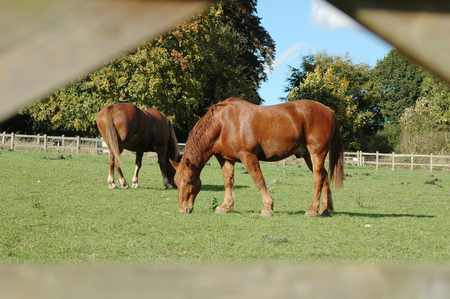 Pair of heavy suffolk punch working horses grazing on farmland.