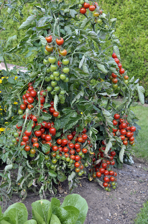 Outdoor grown Cherry tomato plant, F1 Sweet Million, tomatoes ripening on the vine in a garden. Banco de Imagens