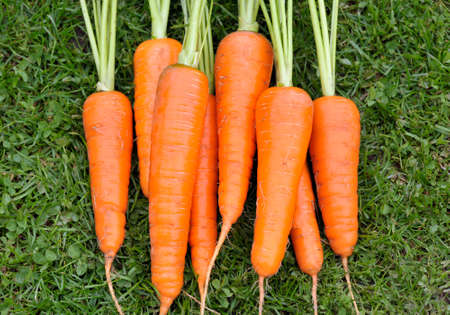 Bunch of freshly picked and washed home grown carrots.