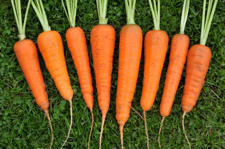 Washed homegrown freshly picked whole carrots.