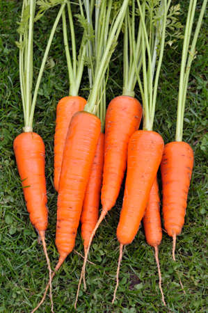 Freshly lifted and washed bunch of whole home grown carrots.