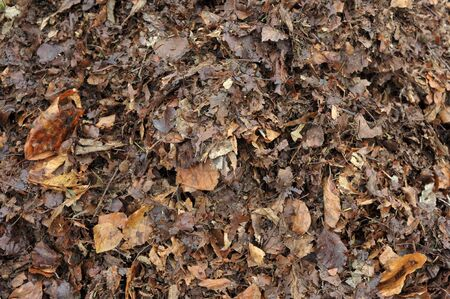 Recycling leaves, partly rotted autumn fall garden leaves forming leafmould for use in the garden as a potting mix or mulching material or adding to the compost heap.
