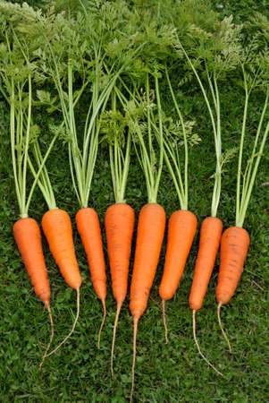 Freshly lifted and washed whole home grown carrots.