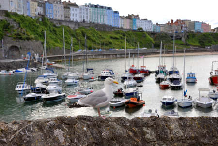 Herring Gull, Seagull at Tenby Harbour with yachts and fishing boats at the holday resort town on the western side of Carmarthen Bay in Pembrokeshire in South West Wales, UK. Stock Photo