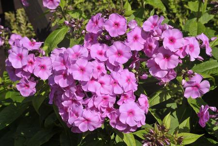 Pink phlox paniculata a herbaceous perennial flowering in a garden pink phlox paniculata a herbaceous perennial flowering in a garden stock photo 93982524 mightylinksfo