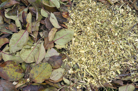 Recycling high carbon or brown woody garden waste, leaves and shredded prunings plant mulch material on a garden compost heap. Stock Photo