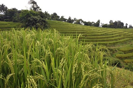 Crop of rice growing with stepped rice farm fields in the Doi Inthanon National Park, Chiang Mai, northern Thailand.