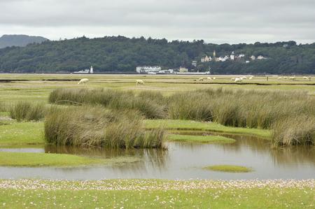 Portmeirion Village on the River Dwyryd Estuary with grazing salt marsh lambs, Gwynedd in North Wales, UK.