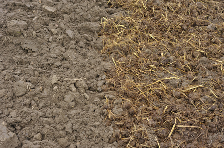 Horse manure with straw bedding spread onto soil in autumn, or the fall, to add organic compost material and fertility to a vegetable garden. Banque d'images