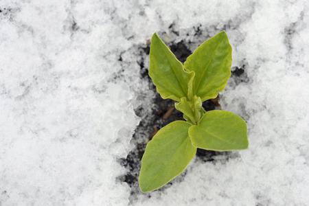 Autumn or fall sown Broad bean plant in the snow, variety Witkiem Manita, Vicia Faba also known as field bean, fava, bell, horse, windsor, pigeon and tic bean.