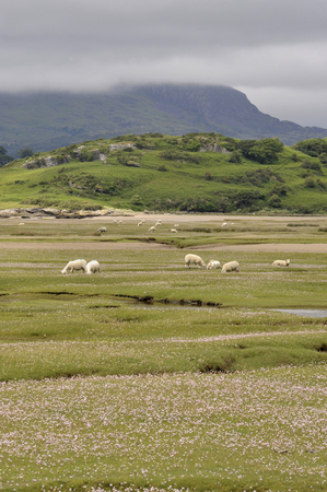 Welsh lambs, sheep grazing salt marshes on the River Dwyryd Estuary, Gwynedd in North Wales, UK.