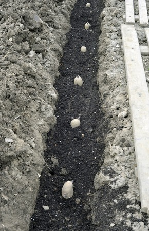 Planting chitted seed potatoes in a vegetable garden trench with a bed of compost. Variety Arran Pilot a first early white potato.