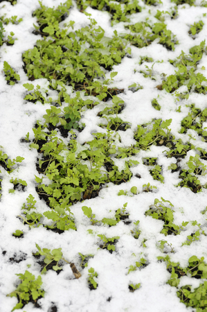 Mustard winter green manure cover crop plants growing with snow cover, Sinapis Alba, Brassica Alba or Brassica Hirta.
