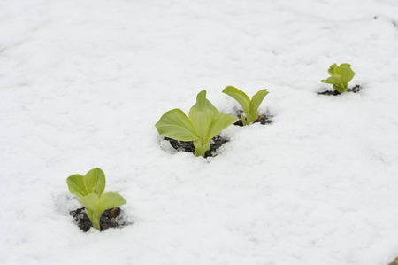 Autumn or fall sown row of Broad bean plants in the snow, variety Witkiem Manita, Vicia Faba also known as field bean, fava, bell, horse, windsor, pigeon and tic bean.