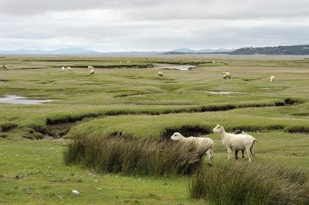 Welsh lambs, sheep grazing salt marshes on the River Dwyryd Estuary, Gwynedd in North Wales, UK.