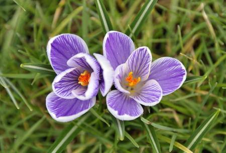 Spring purple and white striped crocus flower variety 'Pickwick' growing in grass.