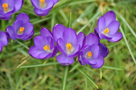 Spring purple crocus flowers variety growing in a garden lawn.