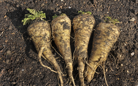 Freshly lifted Hollow Crown parsnip roots, winter garden vegetables.