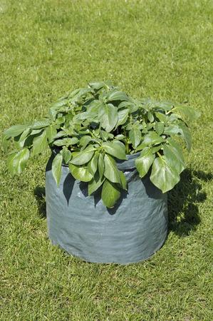 容器は、堆肥のスペースセービングパティオバッグやポテトプランターでジャガイモの植物を栽培しました。バラエティシャーロット、庭の容器の成長に適したワックス状の第二初期のサラダ品種。