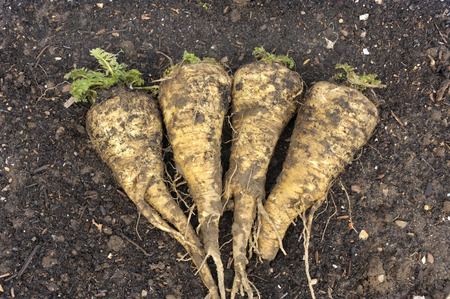 Freshly lifted Hollow Crown parsnip roots in a vegetable garden.