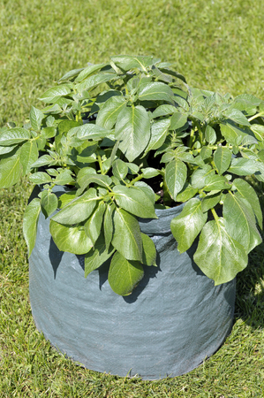 Container grown potato plant in a space saving patio bag or potato planter of compost. Variety Charlotte, a waxy second early salad variety suited to garden container growing.