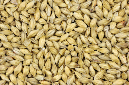 Maris Otter two row malted brewing barley grains, pale malt used in traditional British ales and all grain beers.