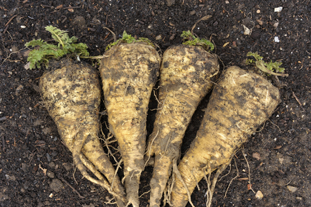 Freshly lifted winter crop of Hollow Crown parsnip roots in a vegetable garden. Stock Photo