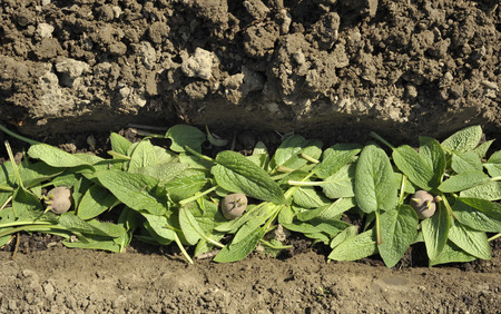 Planting chitted Desiree red maincrop seed potatoes in a vegetable garden trench with a bed of comfrey leaves to fertilize the plants. Stock Photo
