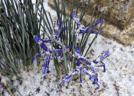 Late winter snow and Dwarf irises, Iris Reticulata, variety 'George' in flower. Stock Photo