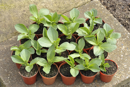 Broad bean plants in pots, variety Witkiem Manita, Vicia Faba also known as field bean, fava, bell, horse, windsor, pigeon and tic bean.