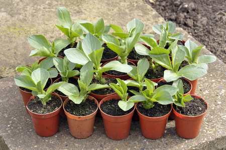 Starting Broad bean plants in pots, variety Witkiem Manita, Vicia Faba also known as field bean, fava, bell, horse, windsor, pigeon and tic bean.