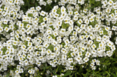 Alyssum 'Carpet of snow' flowers, Lobulara Maritima an annual plant used as low ground cover in summer garden flower borders. Stock Photo
