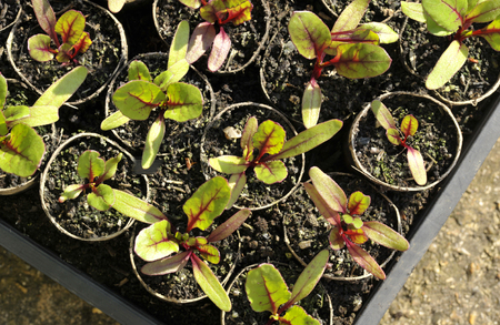 Red beetroot plants, beta vulgaris, also known as beets, growing in reused card tubes for transplanting in the garden. Stock Photo