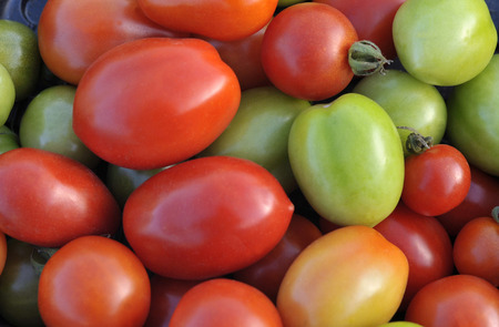 End of season last pick of ripe and unripe tomatoes from several varieties and used to make autumn pickles and chutneys. Stock Photo