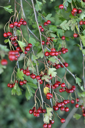 Wild Hawthorn Haws, red fruits of the Common Hawthorn crataegus monogyna often found in countryside hedgerows.
