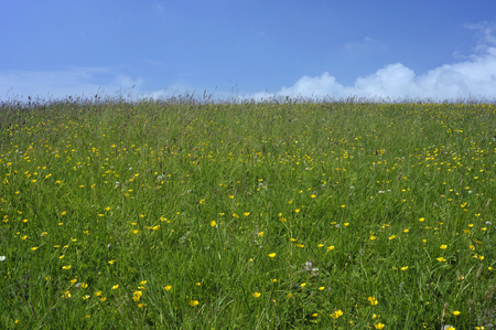 Summer countryside meadow grass field pasture with a natural mixture of wild herbs and flowers against a blue sky background.