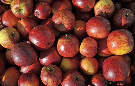 Freshly picked ripe eating apples, red dessert varieties. Stock Photo