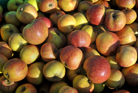 Freshly picked ripe dessert eating apples.