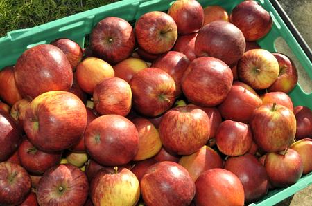 Freshly picked tray of ripe red dessert eating apples.