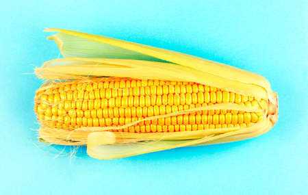 Fresh corn with green leaves, isolated on a blue background