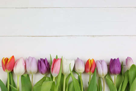 Colored tulips in white background