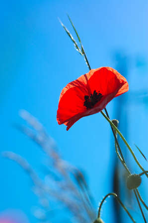 Close up of poppy red on a superb blue sky without clouds. Stock Photo
